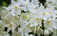Narcissi Poem by Sylvia Plath
