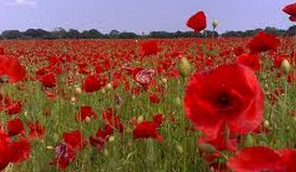 Poppies in July Poem by Sylvia Plath Poppies in July Poem by Sylvia Plath