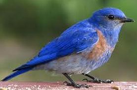 Bluebird Poem by Charles Bukowski