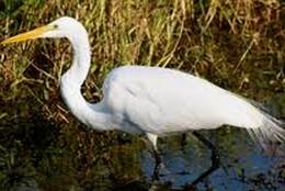egret poem