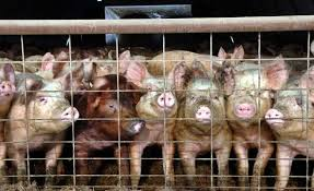 pigs The Stewards of The Earth by David Michael Jackson | A Poem