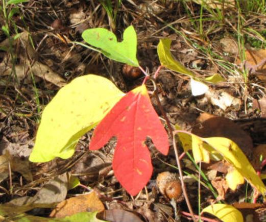 red and gold sassafras poem